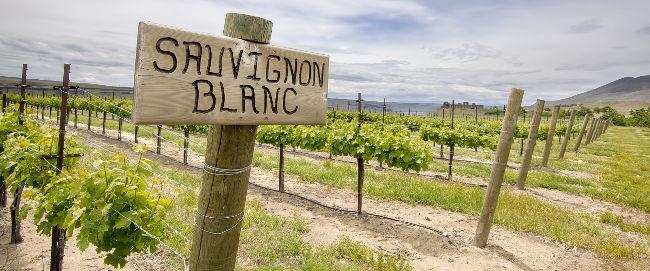 Anbaugebiet Sauvignon Blanc im australischen Marlborough